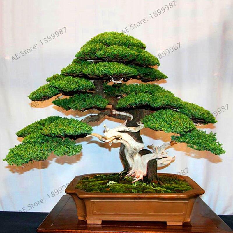 Самая низкая цена! 50 можжевельник бонсай дерево горшечные цветы офис бонсай очистить воздух впитывают вредные газы можжевельник сад Беспла...