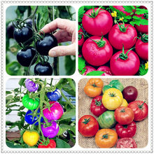100 pcs/bag Fresh Heirloom Monster Tomato bonsai, Very Rare bonsai Vegetables for home garden plant pot easy to grow(China)