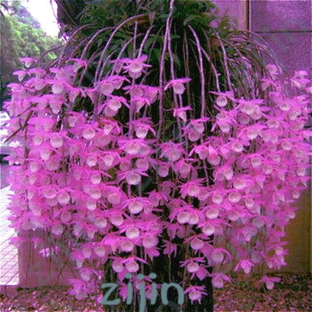 100 قطعة/الحقيبة متعددة اللون Dendrobium بساتين الفاكهة بونساي شجرة جدا سهلة تنمو المنزل والحديقة بناء زهرة للبيع