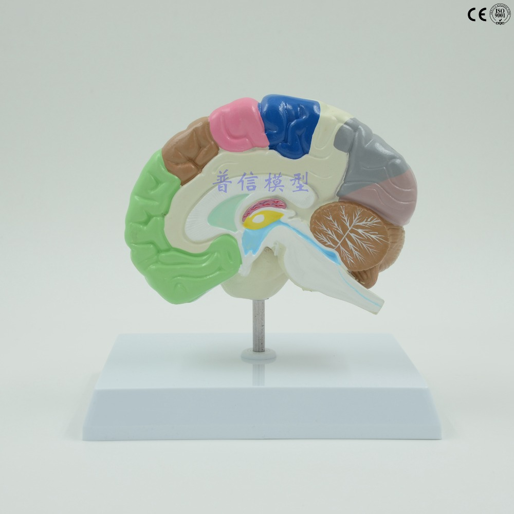 DongYun brand Human right brain anatomica model brain function area model Medical skeleton teaching supplies