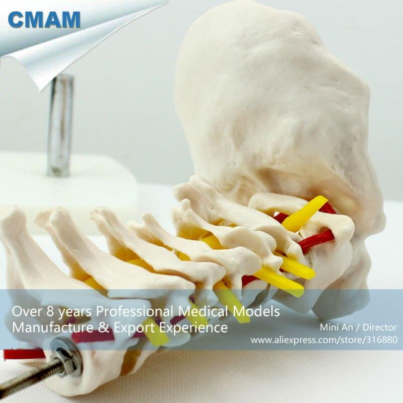 12386 CMAM VERTEBRA03 Columna Vertebral Cervical con la Arteria Del ...