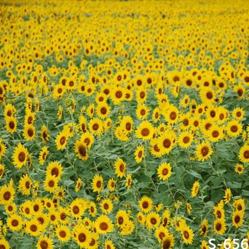 8x8ft Sunflower Field Vinyl Photography Backdrops Photo Studio Photographic Background Children Wedding Backdrop