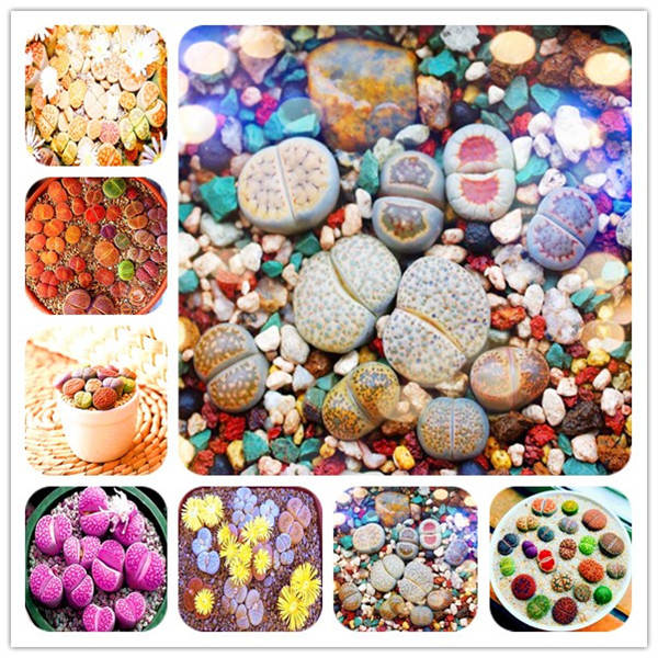 Hot product 100 rare mixed Lithops bonsai,original garden in bulk planting, indoor cute succulent bonsai plants free shipping