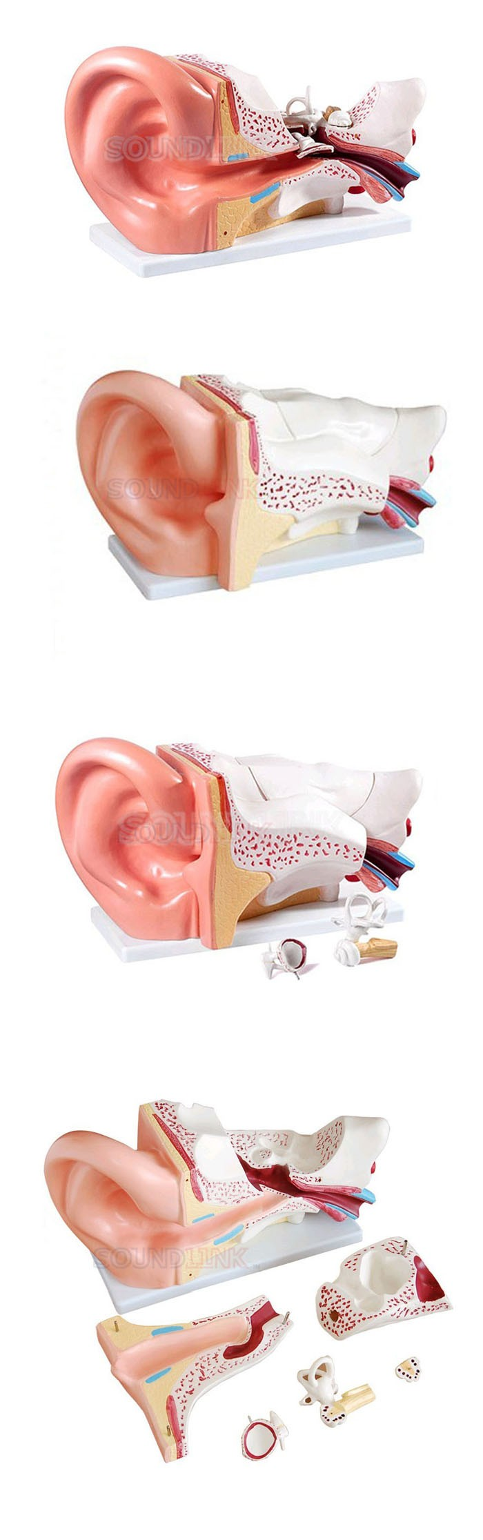 Ear Anatomic Model