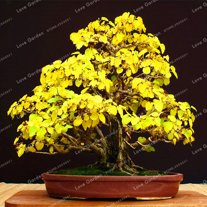 Heirloom Organic 5 Pcs Ginkgo Biloba Gingko Maidenhair Tree Bonsai Nuts Bonsai Tree Grown From Bonsai Plant Pot For Home Garden