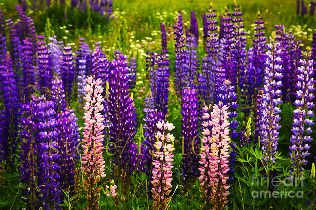aliexpress  buy lupin seeds flower lupine, original package, Natural flower