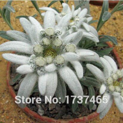 Buy edelweiss flower for sale and get free shipping on aliexpress mightylinksfo