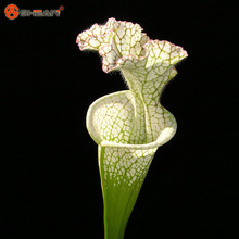 White Nepenthes Seeds Balcony Potted Bonsai Plants Seeds Bonsai Insectivorous Plants Seeds 50 Particles / lot