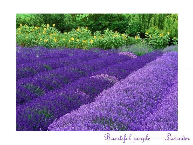Growing lavender indoors promotion shop for promotional growing lavender indoors on - Growing lavender pot ...