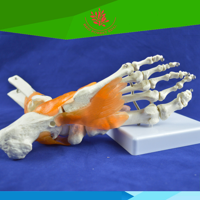 Life Size Human Ankle Skeleton Model With Ligaments Foot Joint Model