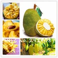 New-5Pcs-Fresh-Jackfruit-Seeds-Tropical-Rare-Giant-Tree-Seeds-Miracle-Fruit-Seeds-Is-Rich-In.jpg_200x200