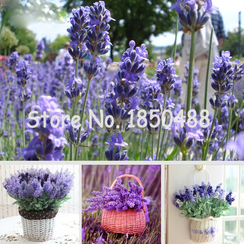 Unusual Online Get Cheap Lavender Garden Aliexpresscom  Alibaba Group With Glamorous Free Shipping Pcs Lavender Seeds Herb Seed Garden Balcony Bonsai  Lavandula Potted Flower Seedschina With Breathtaking Garden Stacking Chair Covers Also Busch Gardens Tripadvisor In Addition Wagamama In Covent Garden And Woodside Walled Garden As Well As Used Lawn And Garden Tractors Additionally Garden And Home Direct From Aliexpresscom With   Glamorous Online Get Cheap Lavender Garden Aliexpresscom  Alibaba Group With Breathtaking Free Shipping Pcs Lavender Seeds Herb Seed Garden Balcony Bonsai  Lavandula Potted Flower Seedschina And Unusual Garden Stacking Chair Covers Also Busch Gardens Tripadvisor In Addition Wagamama In Covent Garden From Aliexpresscom