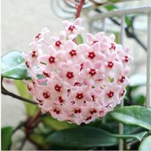 Promotion! Hot sale Hydrangea 20PCS Mixed Hydrangea Seeds Flowers Garden Plant Bonsai Viburnum macrocephalum Fort Free shipping