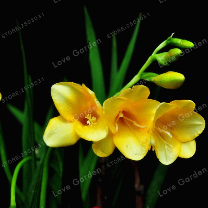 2 Bulbs yellow Freesia Bulbs Indoor Potted Flowers Orchids,Freesia ...