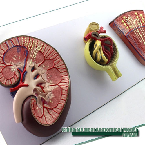 CMAM-KIDNEY06 Medical Science Model Kidney Section, Nephron and Glomerulus, Anatomy Models > Urinary Models voluntary associations in tsarist russia – science patriotism and civil society