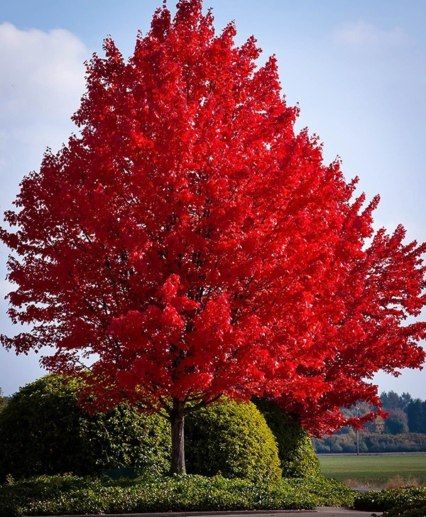20pcs bag red maple tree plant Very Beautiful outdoor plant tree for home garden in Bonsai from Home Garden