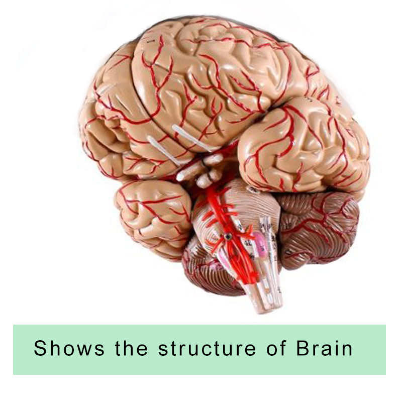 Plastic medical anatomical teaching model Anatomical human Brain ...