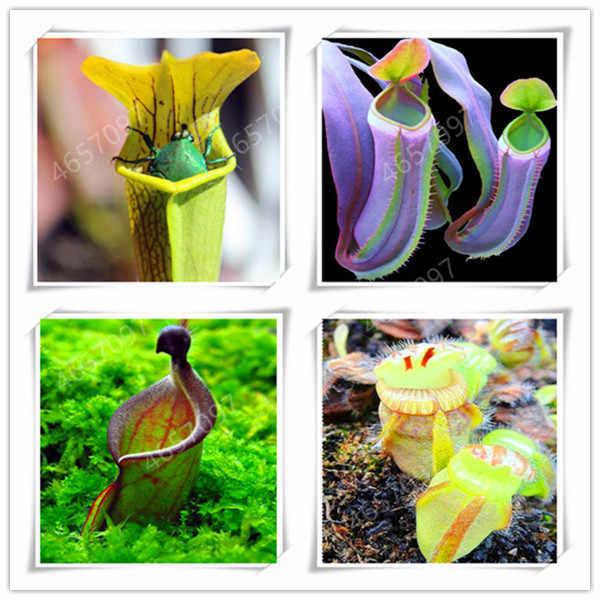 100 قطعة Dionaea Muscipula العملاق كليب فينوس فلاي تراب بونساي بوعاء النباتات الحشرية بونساي فلاي كاتشر بونساي بونساي للحديقة
