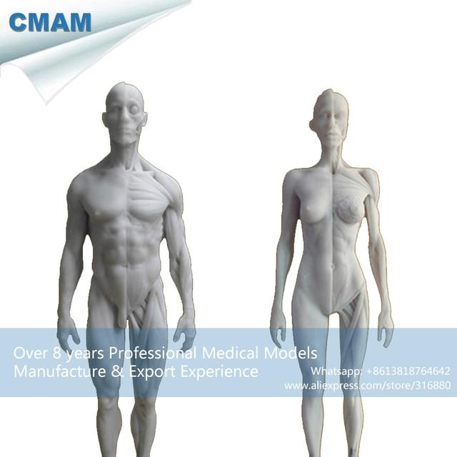 CMAM PRC17 Weiß 1:6 Menschliche Männliche Weibliche Anatomie Schädel ...
