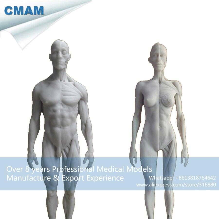 CMAM-PRC17 Weiß 1:6 Menschliche Männliche Weibliche Anatomie Schädel Kopf Muscle Modell 30...