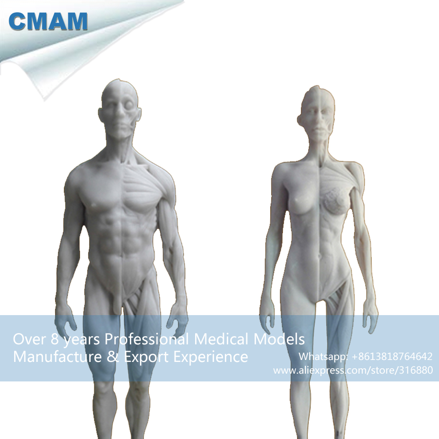 CMAM PRC17 White 1:6 Human Male Female Anatomy Skull Head Muscle ...