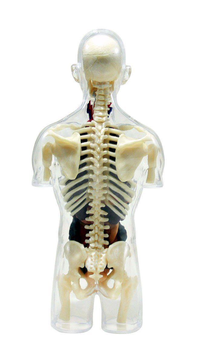 Fein Anatomie Modell Für Kinder Galerie - Anatomie Ideen - finotti.info