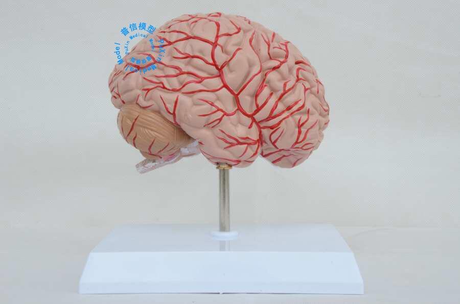 Lehrmodell des Menschlichen Gehirnhälfte Rechte Gehirn Modell der ...