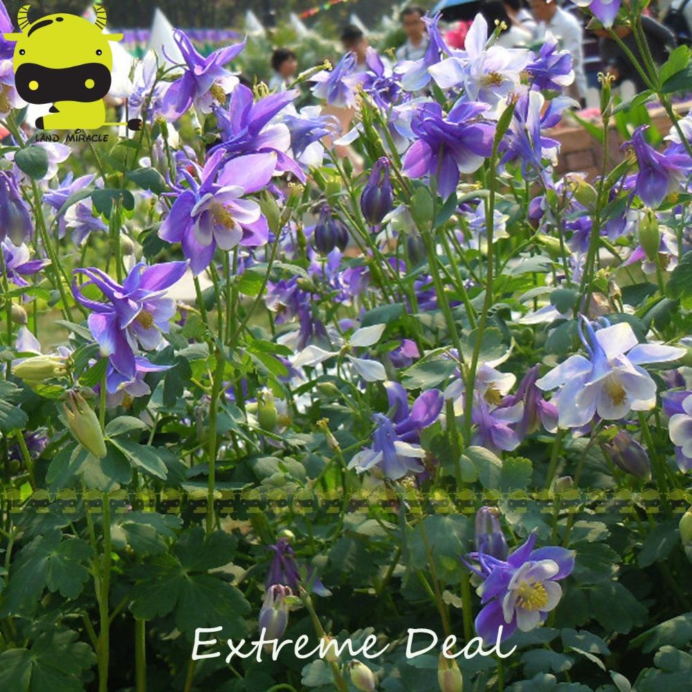 Columbine flower plant gallery flower wallpaper hd swan single blue white columbine flower seeds 50 seedspack swan single blue white columbine flower seeds izmirmasajfo