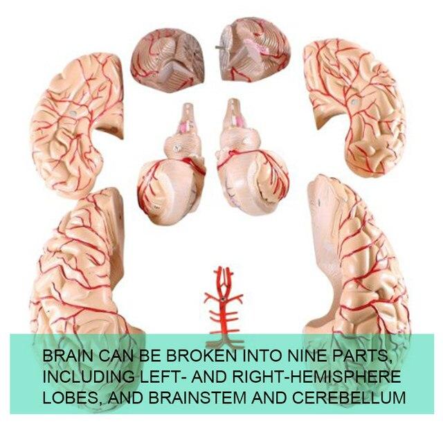 Tienda Online Plástico modelo de enseñanza médica anatómica modelo ...