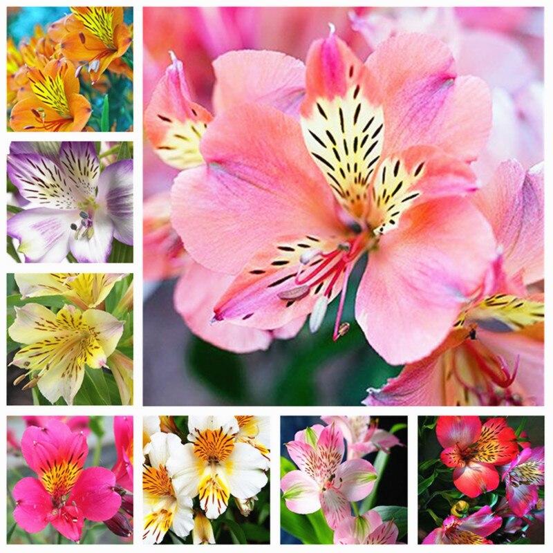 Перуанская Лилия новый редкий 2018 Alstroemeria цветок микс-цвет красивый цветок для дома и сада Бесплатная доставка 80 шт.