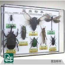 Espécimes de insetos besouro/gafanhoto/mantis espécimes ciência equipamento de ensino presente da criança