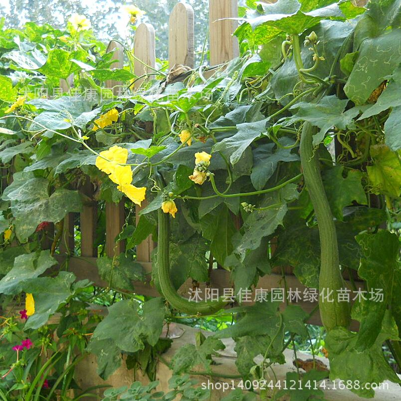 Wholesale vegetable bonsai gourd plant quality wins vegetables melon plant germination rate real shot 200g / Pack