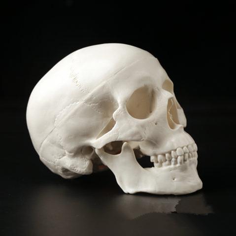 1 unid Venta caliente Mini cráneo anatómico humano cabeza anatomía ...