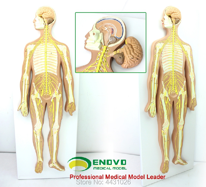ENOVO Anatomical model of the central nerve brain spinal cord in the medical human nervous system