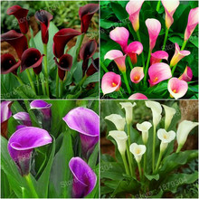 200pcs/bag mixed color calla lily seeds beautiful bonsai flower seeds Elegant noble flower rainbow calla lily for home garden