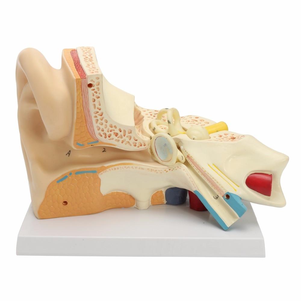 Human Ear Anatomical Anatomy 5 Times Enlarged Teaching Model vivid anatomical skin block model enlarged skin section model human skin model
