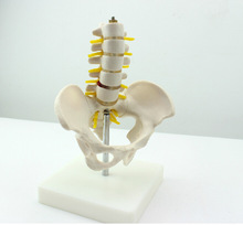 лучшая цена Mini Lumbar Intervertebral PVC Skeleton Model Five-section Lumbar Skeletal Model Anatomy Medical Instruments