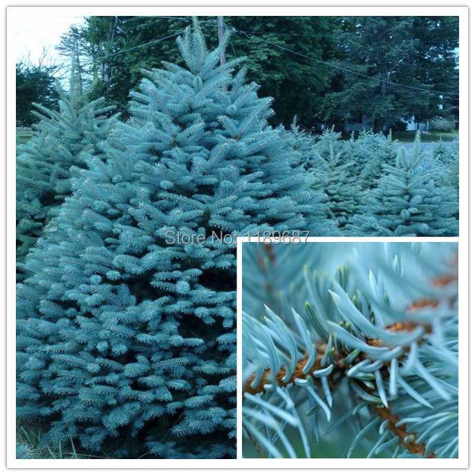 blue spruce trees Picture More Detailed Picture about 100pcs
