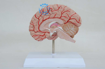 Free shipping&Luxury type teaching model of the human brain , right brain model of human with cranial nerve