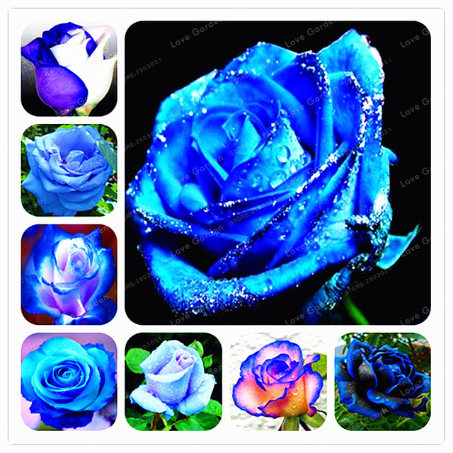 Rare blue rose flowers plant perennial plant flowers beautiful rare blue rose flowers plant perennial plant flowers beautiful bonsai plant diy home garden flower plants mightylinksfo