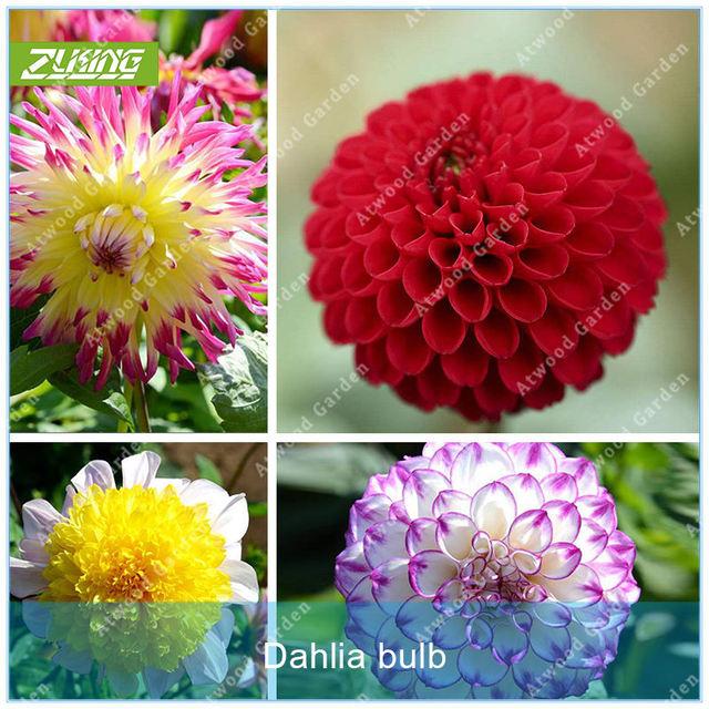 Zlking 2pcs Real Dahlia Bulbs Flower Bonsai Flower Bulbs Not Dahlia