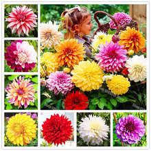 50 Pieces Multi-color Dahlia Flowers Bonsai Plant Flower Plants for Home and Garden Planting