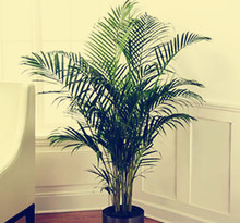 50 seeds/pack foliage plant seeds, excelsa sementes bamboo palm, Zongzhu seeds for bonsai seed