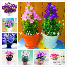 100 pcs Campanula Flower Bonsai Indoor Rare Flower Potted Plants For Home Garden Planting Applied to office desktop Decor flower(China)