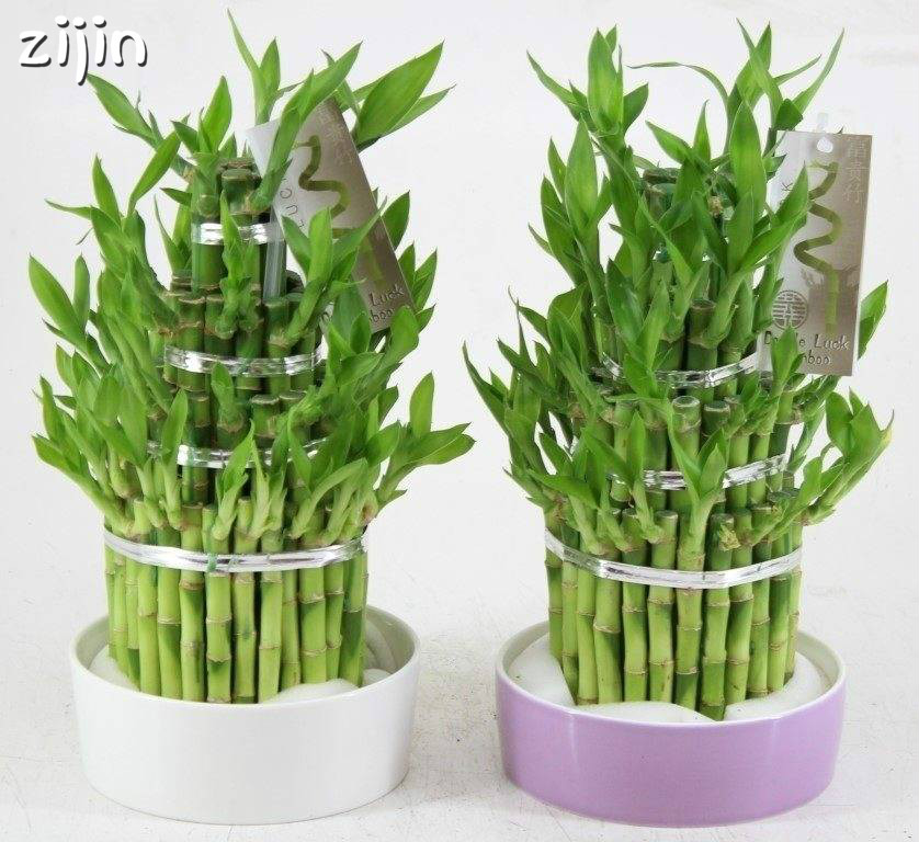 Top 10 Lucky Bamboo Plants Pots Indoor Ideas And Get Free Shipping
