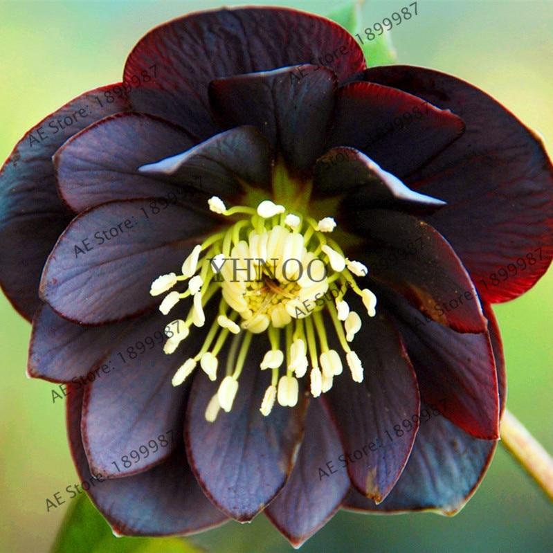 100 Pcs Bag Helleborus Seeds Garden Summer Flower Seeds Bonsai Plant Home Jardin