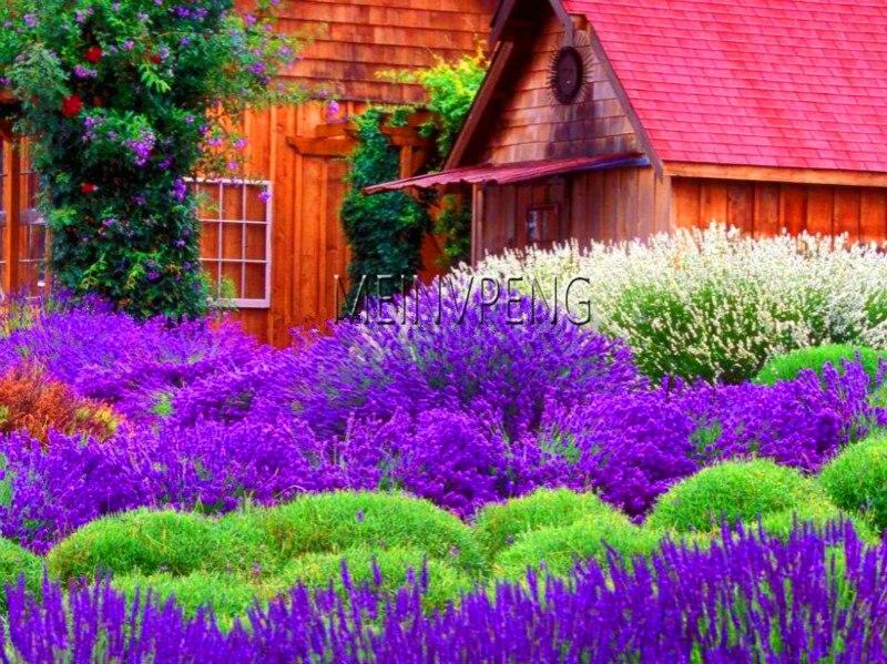 Promoción de pérdida! bonsái de lavanda, lavanda francesa, plantas florales, muy perfumadas, crecimiento Natural, planta para jardín doméstico, 100flores