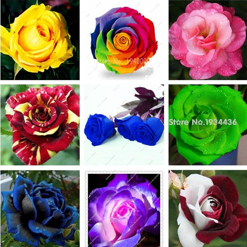 pcs arc en ciel rose fleurs jardin multicolor graines rares