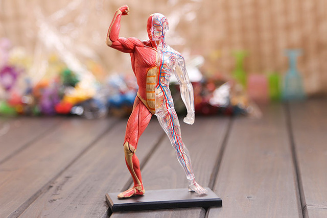 4D Model Assembled Model Of Human Muscle Anatomy Model Anatomical Model Free Shipping