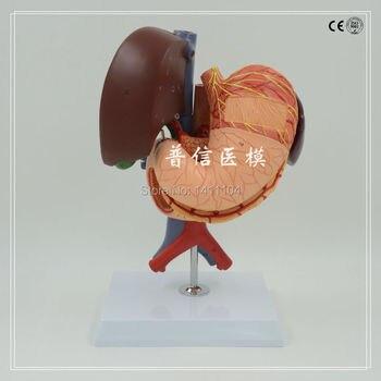 Free shipping&human Liver gallbladder pancreas duodenum spleen stomach internal medicine digestive system anatomy model
